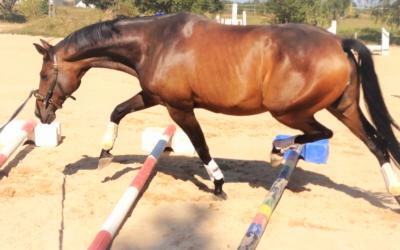Das sinnvolle Longieren eines Pferdes – WEBINAR